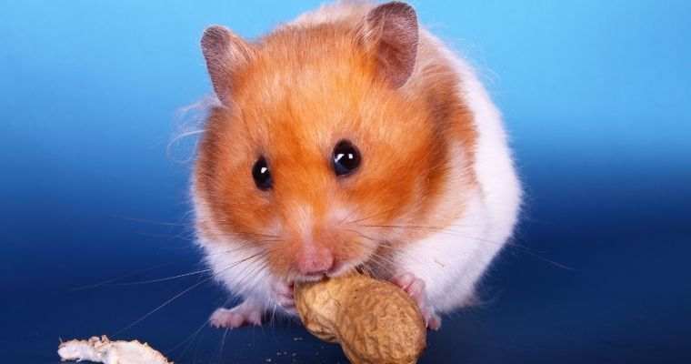 A hamster eating a monkey nut